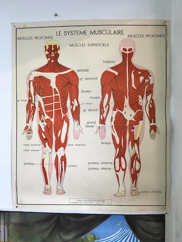 Affiche scolaire Rossignol système musulaire et système nerveux