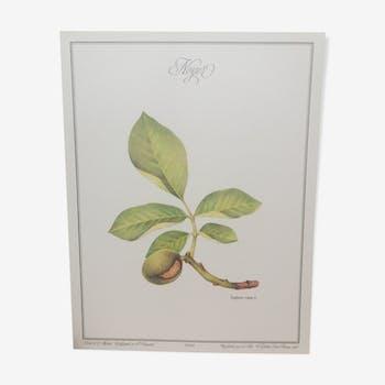 Botanical plank Walnut