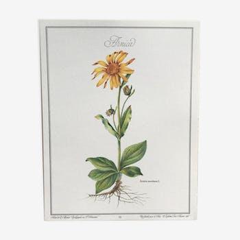 Planche botanique l'Arnica
