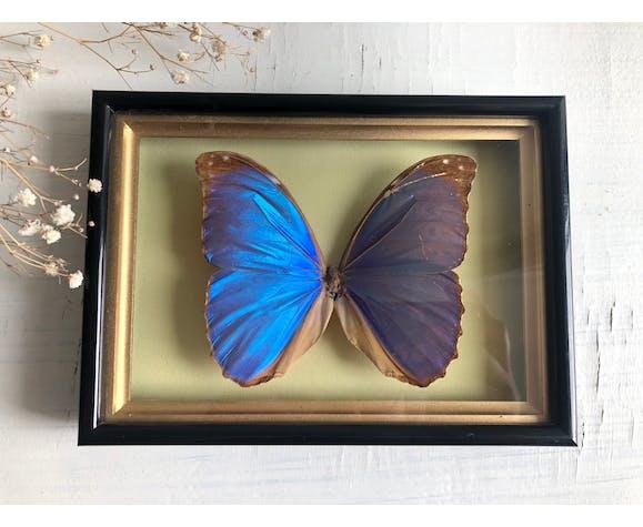 Cadre papillon naturalisé turquoise