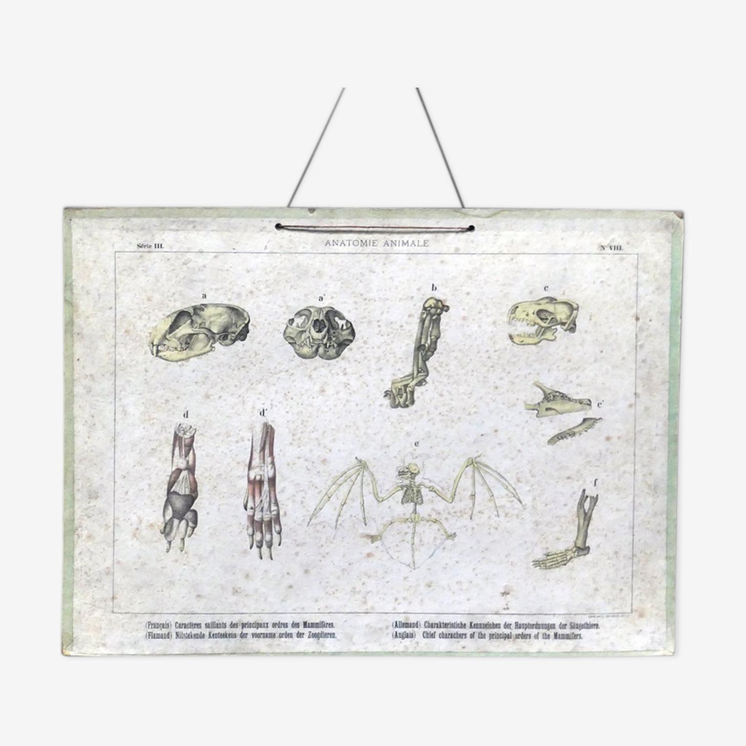 Planche anatomique ancienne des vertébrés