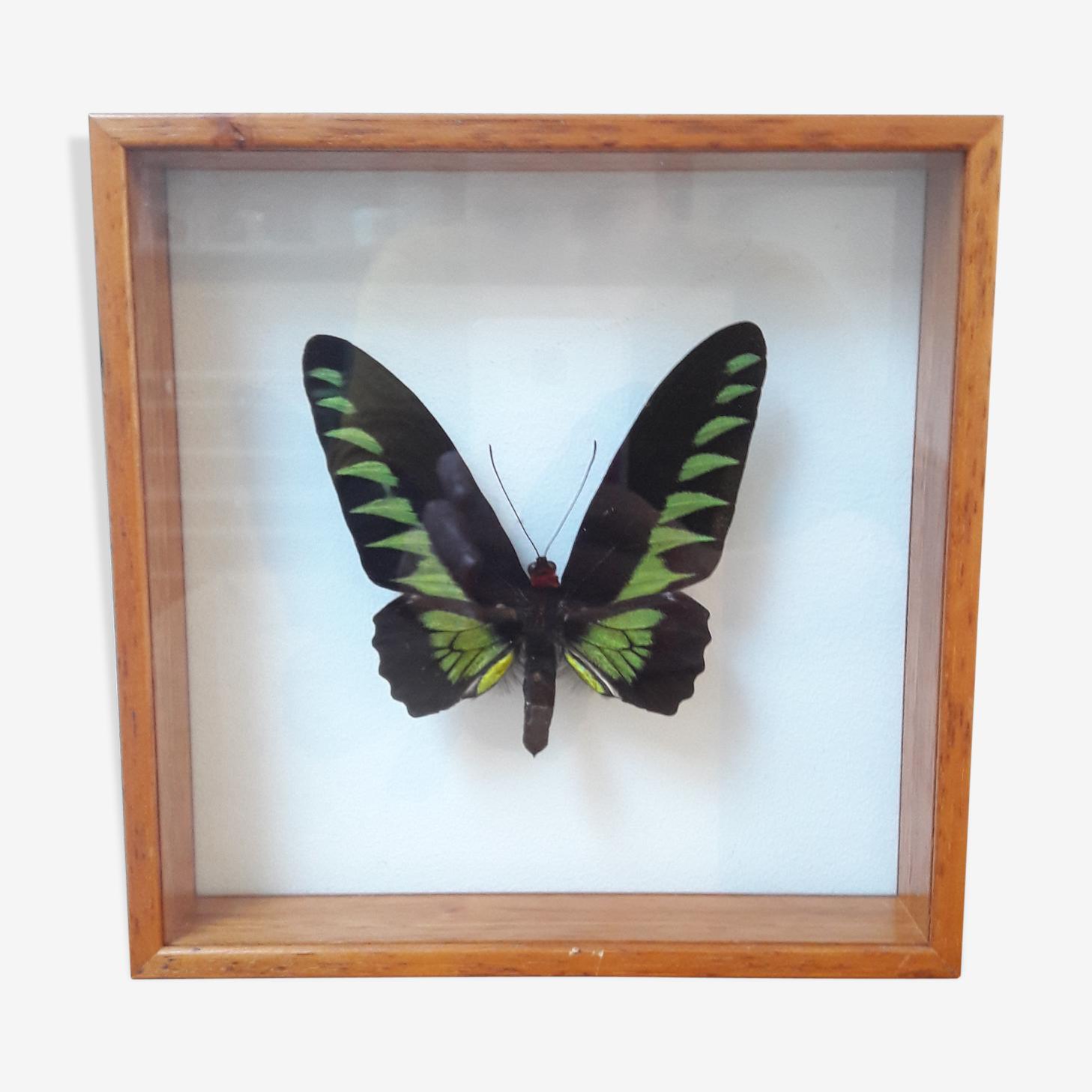 Papillon naturalisé entre 2 verres