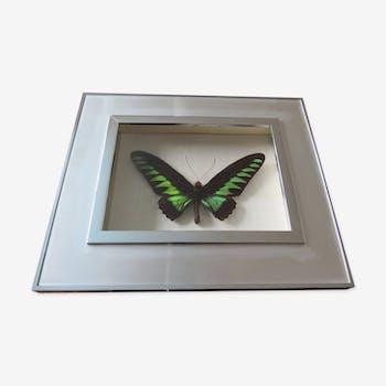 Cadre papillon Ornithoptera Brookiana male taxidermie