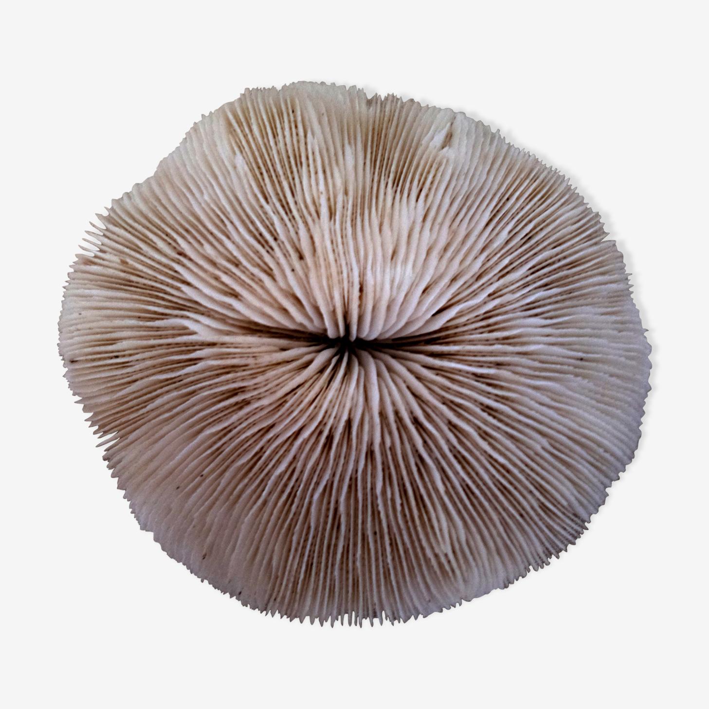 Corail Fungia Océan indien