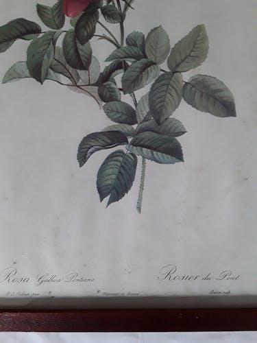 """Planche botanique """"rosier du pont"""" de P.J. Redouté"""