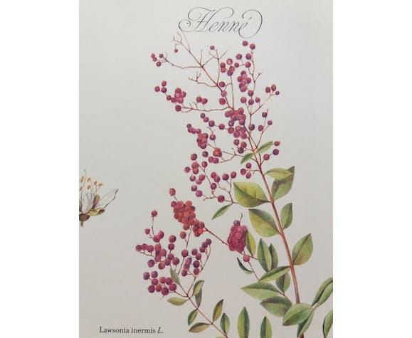 Planche botanique Henné