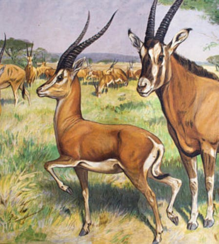 "Poster ""Antelope"" educational grid 1891"