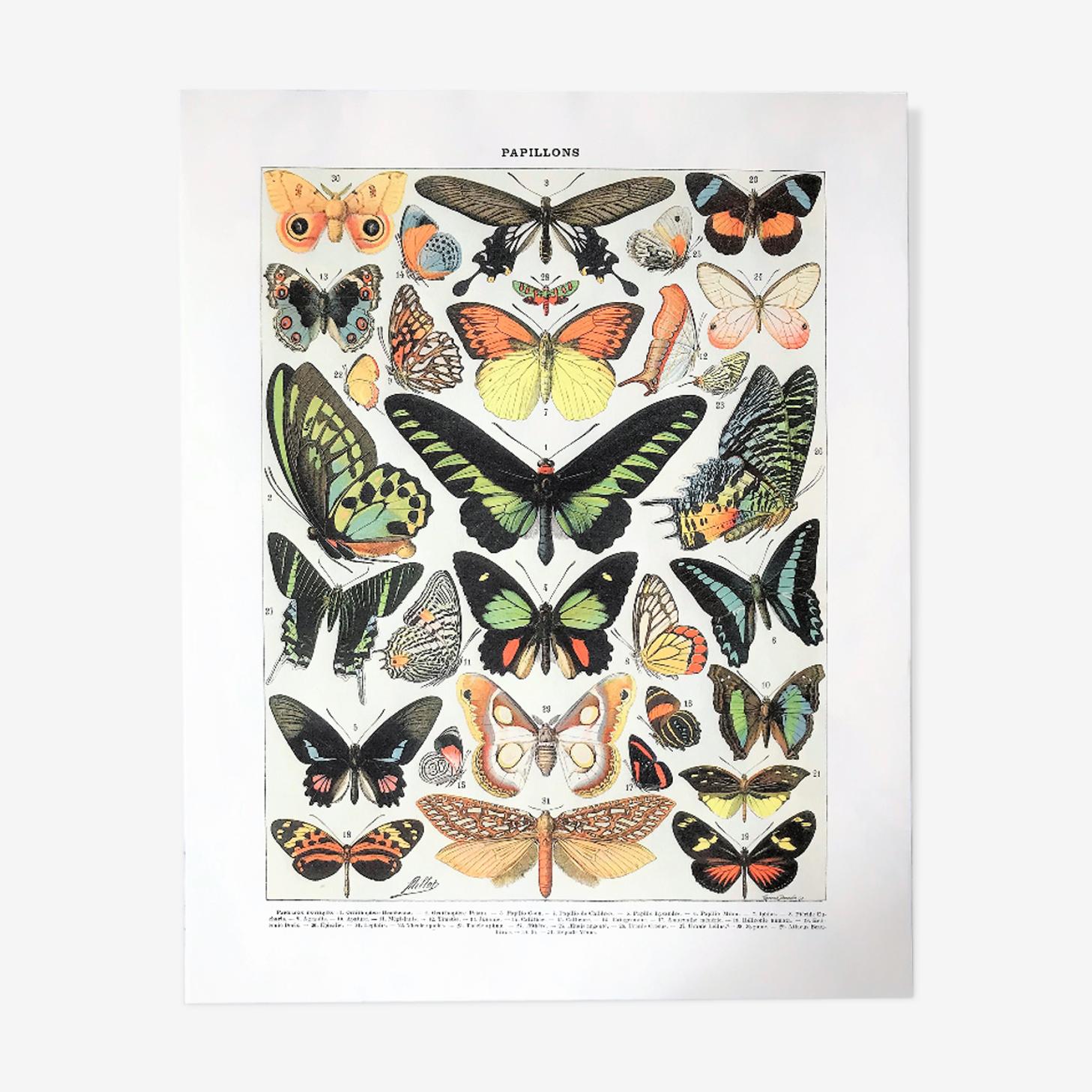 Planche zoologique représentant différentes sortes de papillons