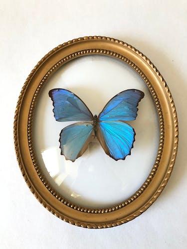 Papillon naturalisé cadre bombé ovale