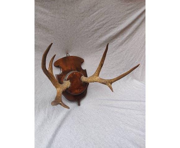Trophée de chasse cornes de chevreuil
