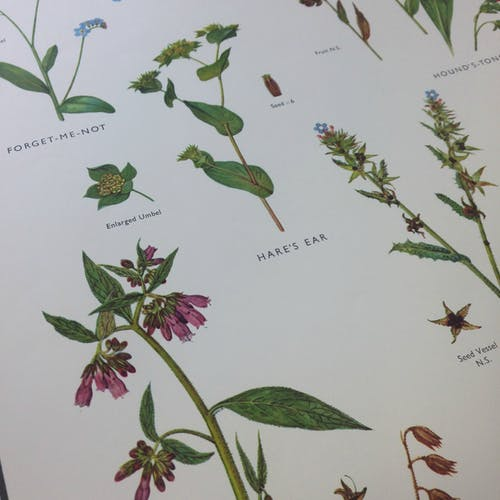 School poster of forget-me-not and parsley flowers