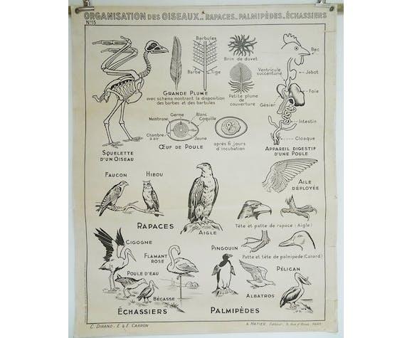 Affiche Hatier Les oiseaux, Les Gallinacés