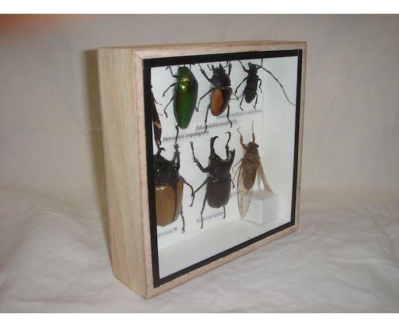 7 insectes naturalisés, entomologie (scarabées, cigale, sternocéra...)