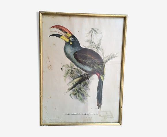 """Planche ornithologique """" Pteroglossus hypoglaucus """" J&EGould"""