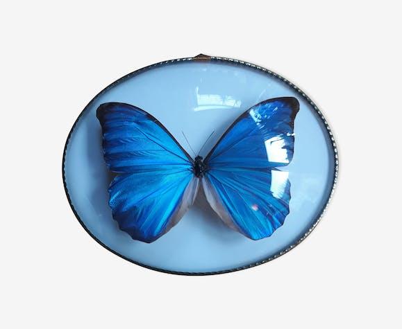 Papillon Morpho naturalisé cadre ovale