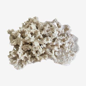 Corail blanc ancien 27X20 cm