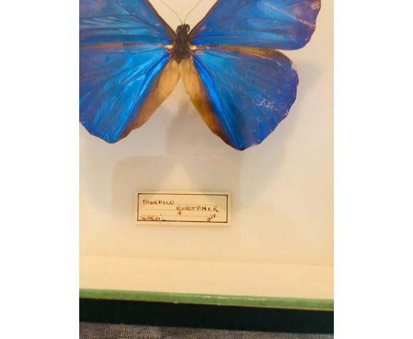 Papillons Morpho Rhetfnor