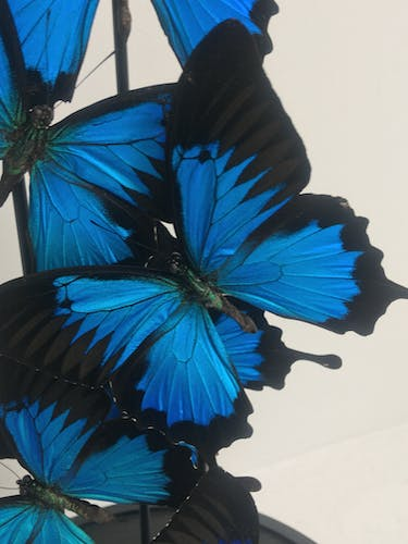 Blue emperor butterflies under large glass dome