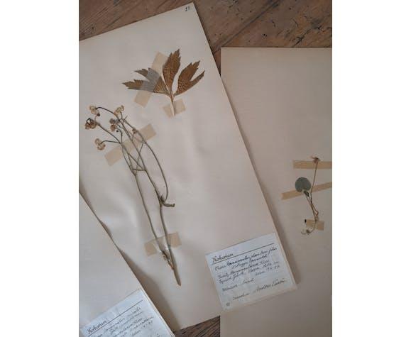 Planches d'herbier ancien suédois