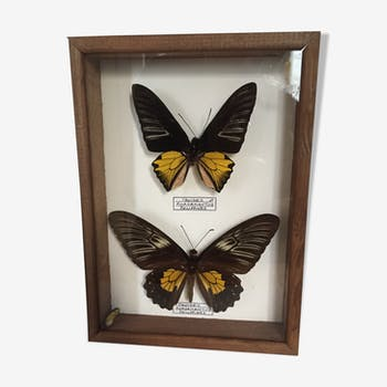 Naturalized Butterflies of the Philippines