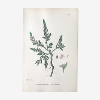 English botanical plank from 1920