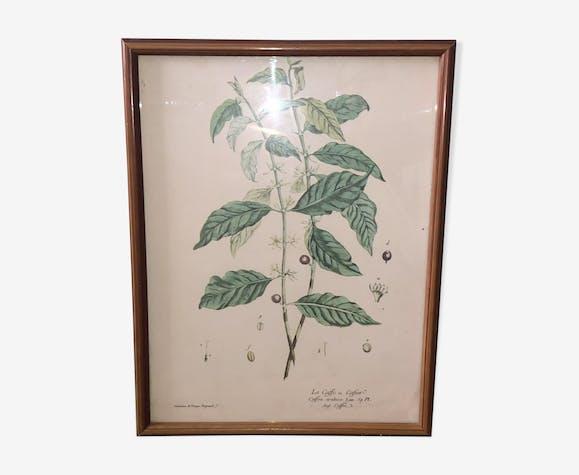 Planche botanique le Café coffea arabica encadré