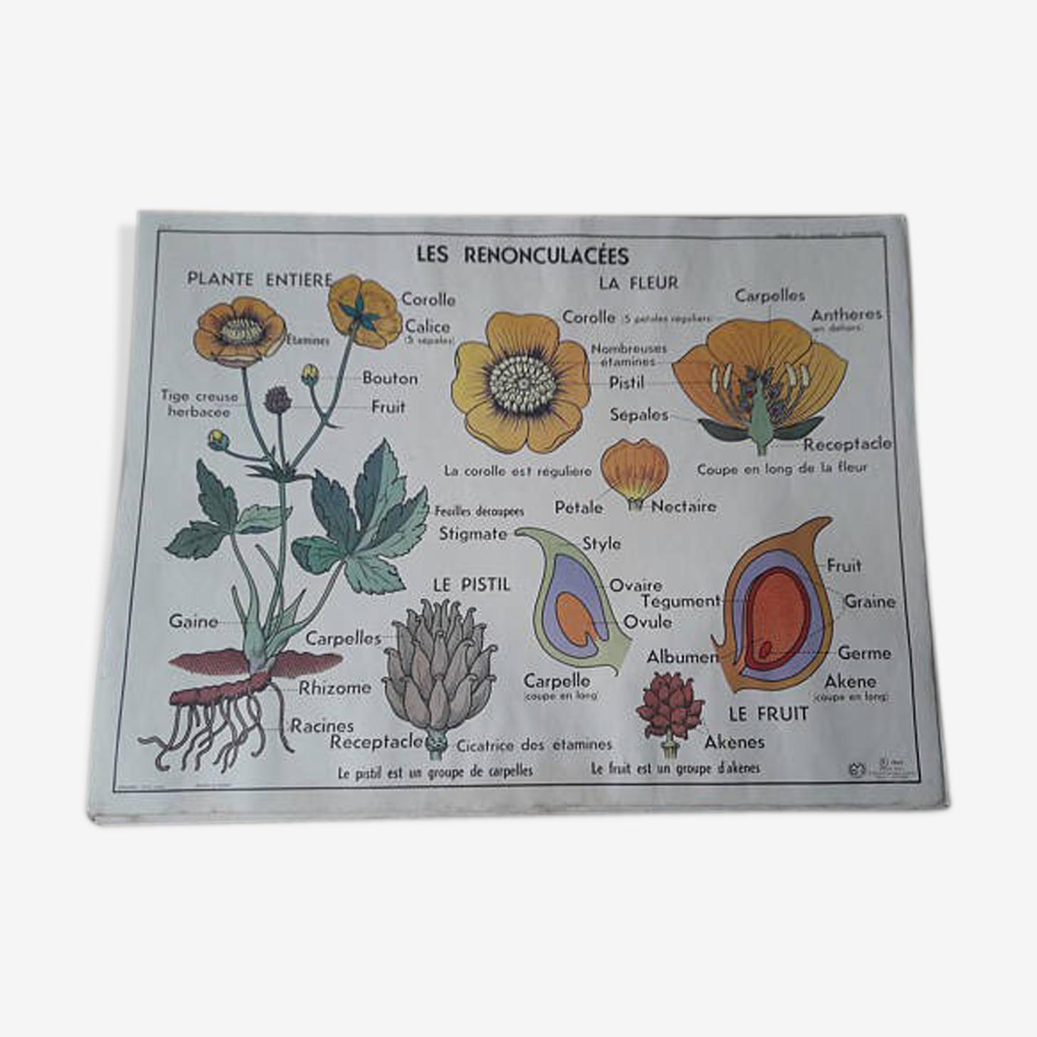 """Affiche botanique """"Le renoncule/ la giroflée"""""""