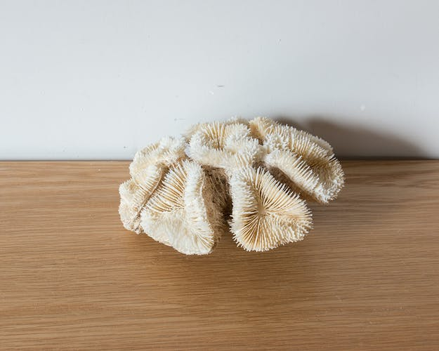 Corail ancien 15 cm