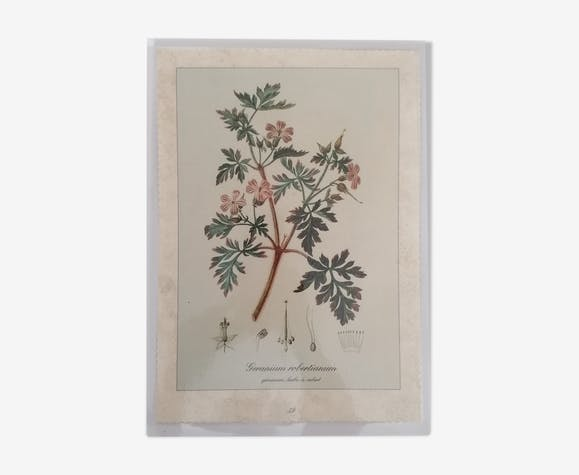 Planche botanique Géranium & Benoîte commune