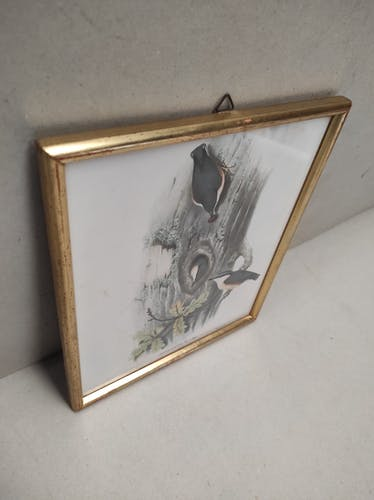 Lithographie illustration oiseau Sitta Caesia vintage gravure cadre doré