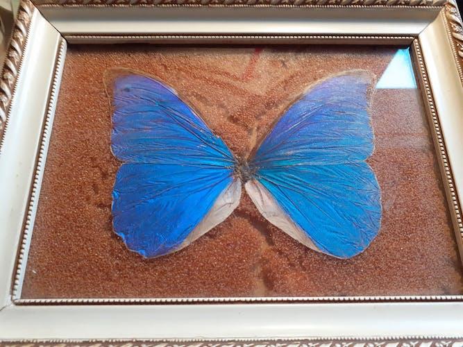 Cadre ancien papillon morpho