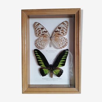 Papillons taxidermie