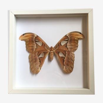 Papillon naturalisé sous cadre