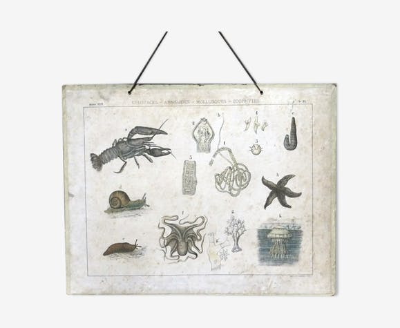 Planche anatomique ancienne des mollusques