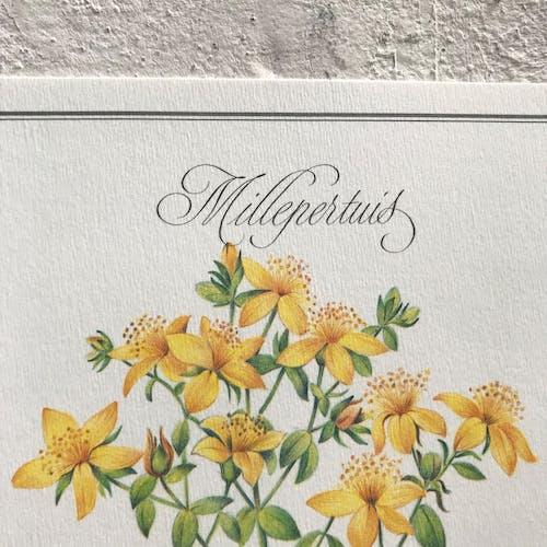 Affiche botanique le Millepertuis