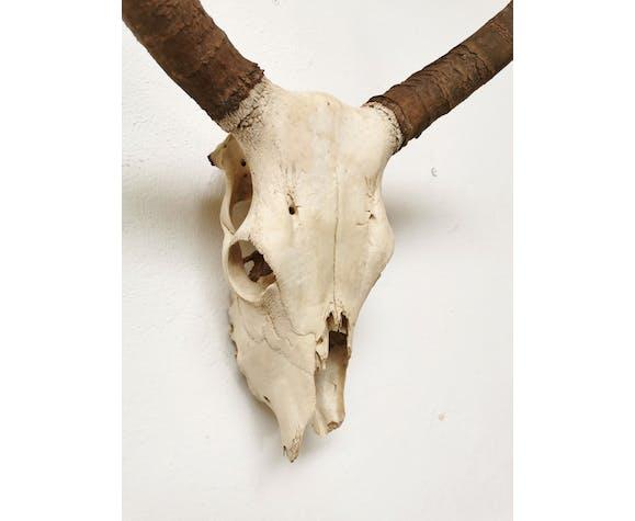 Trophée de chasse tête de zébu massacre