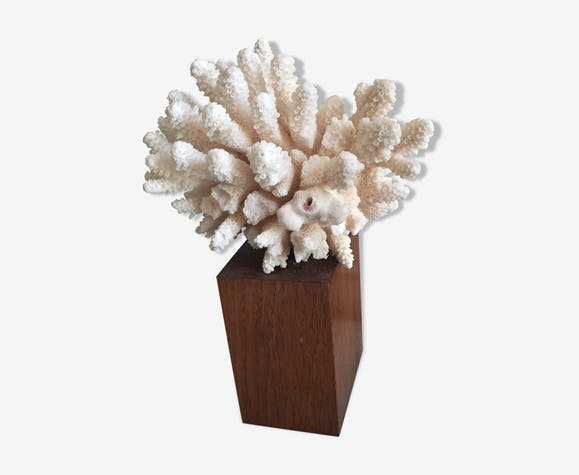 White coral on wooden base