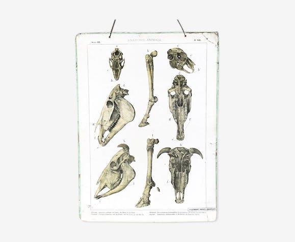 Planche anatomique ancienne du cheval et du boeuf