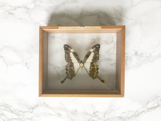 Naturalized butterfly between two glasses, solid wood frame