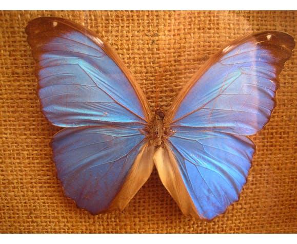 Papillon bleu Morpho Menelaus de Guyanne sous verre cabinet de curiosité xxème