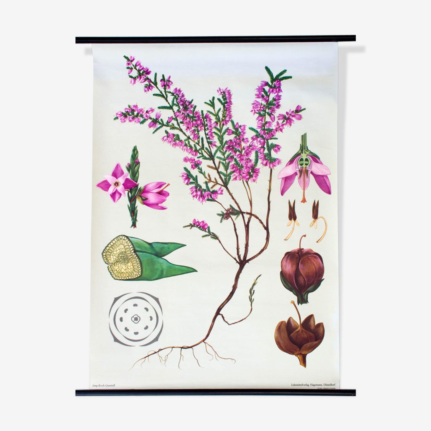 Affiche pédagogique fleur de daphné, 1972