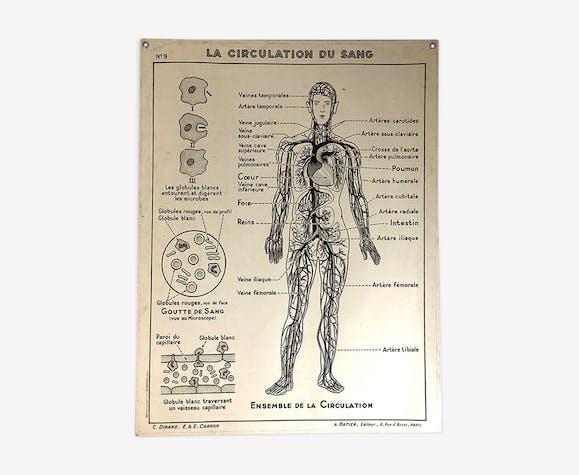 Affiche scolaire médicale vintage 50 - circulation sanguine, le coeur