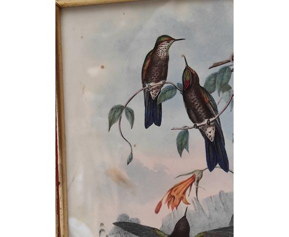 Lithographie illustration oiseau Ramphomicron Stanleyi vintage gravure cadre doré