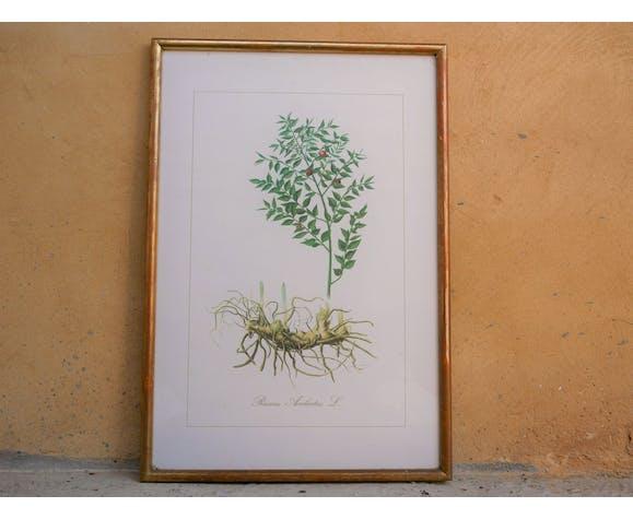 "Vintage botanical poster ""Ruscus Aculeatus"""