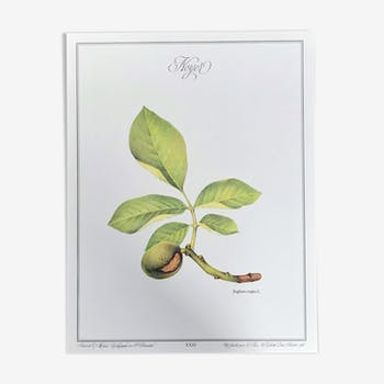 Affiche botanique le Noyer