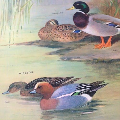 Birds of the waterside II English school wall chart