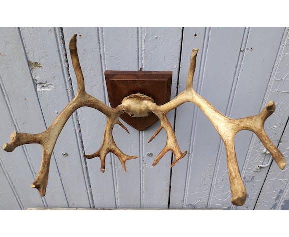 Massacre de renne