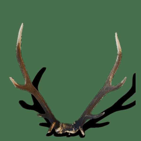 troph e cornes de cerf bois de cerf deer bois mat riau marron vintage 12634. Black Bedroom Furniture Sets. Home Design Ideas