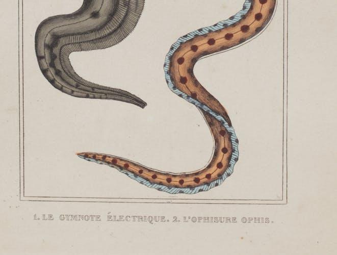 Lithographie gravure poisson vintage - Buffon 1850