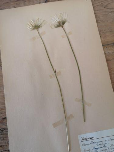 L'herbier d'Anders - planche d'herbier ancien suédois